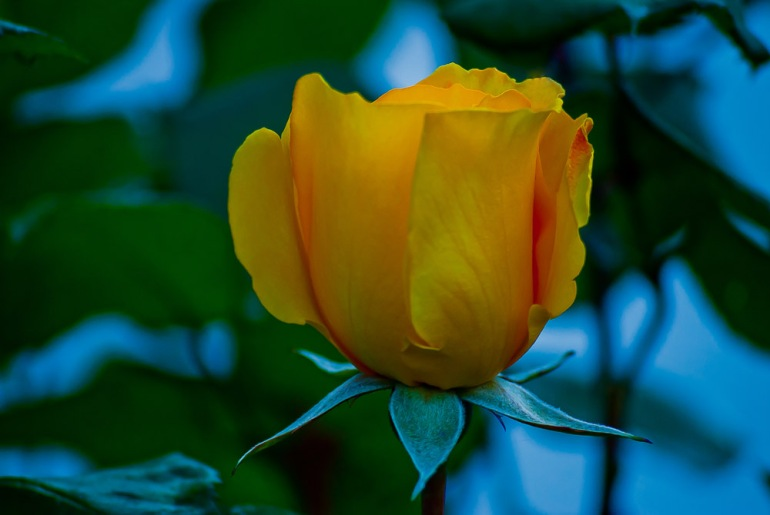 2 Quote A Flower Daily - Yellow Rose