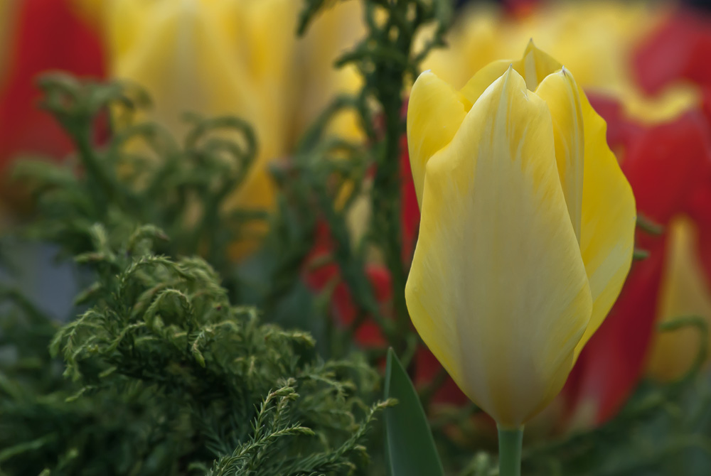 2 Quote A Flower Daily - Yellow Tulip