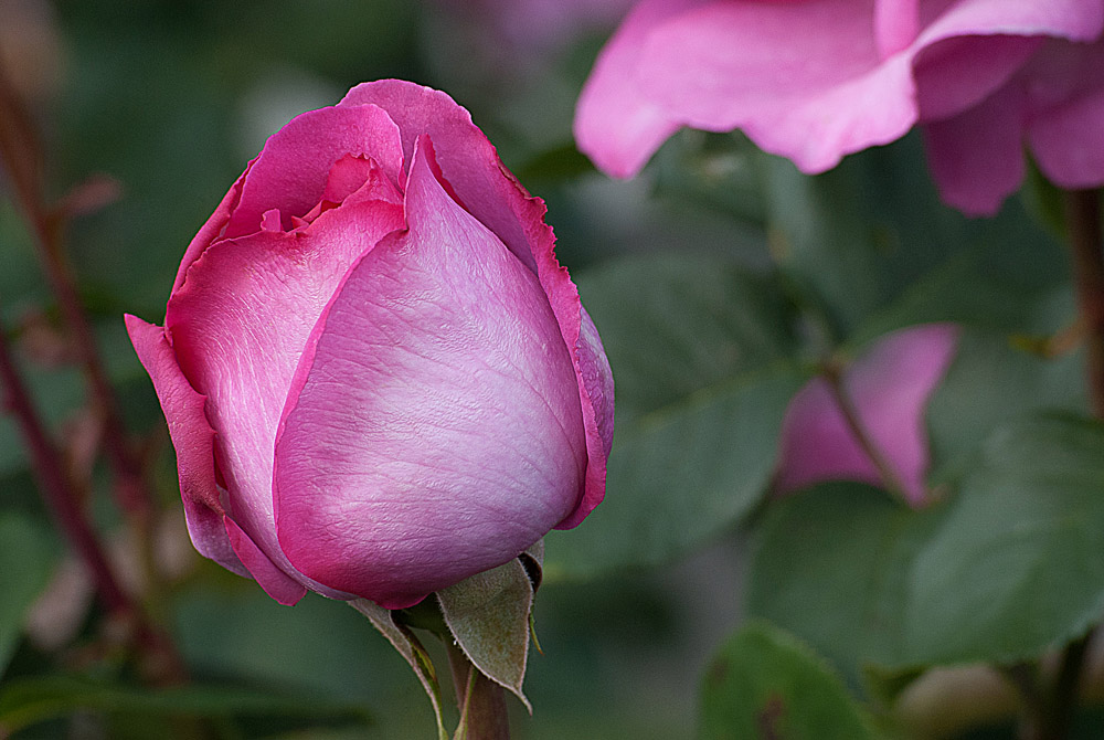 2 Quote A Flower Daily - Yves Piaget Pink Rose Bud