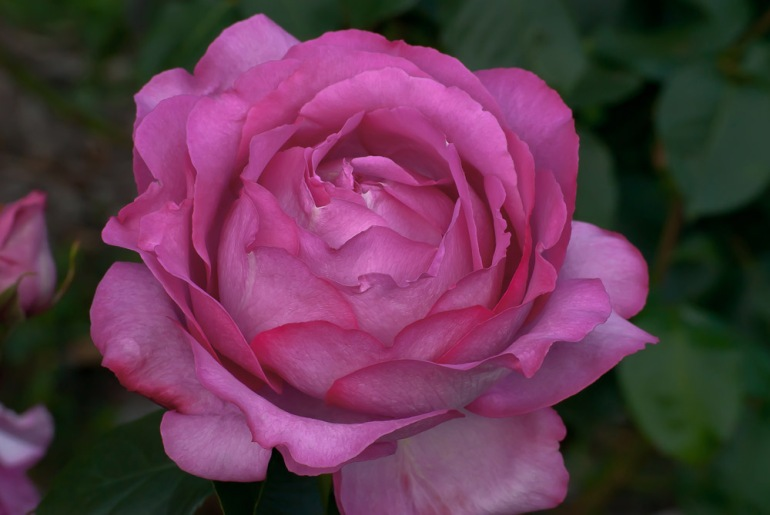 2 Quote A Flower Daily - Yves Piaget Pink Rose