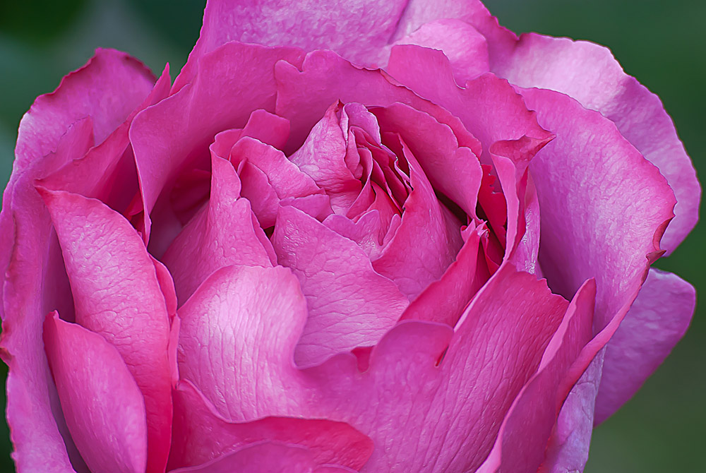 2 Quote A Flower Daily - Yves Piaget Rose