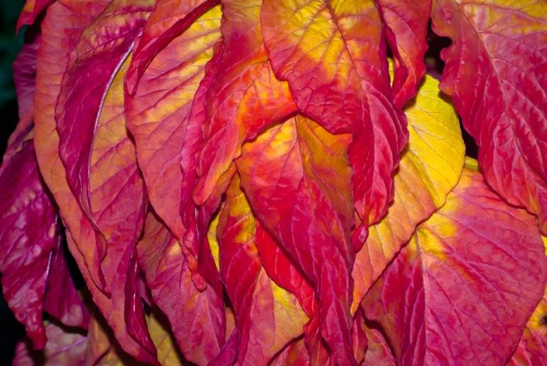 2 Quote A Flower Daily - Amaranth Illumination