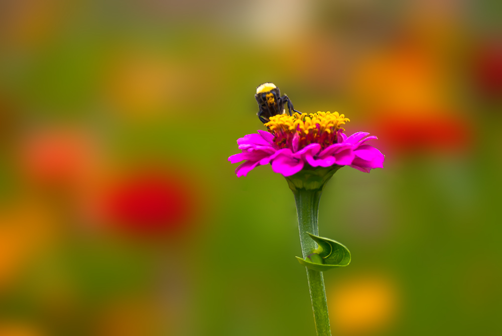 2 Quote A Flower Daily - Bee and Pink Zinnia
