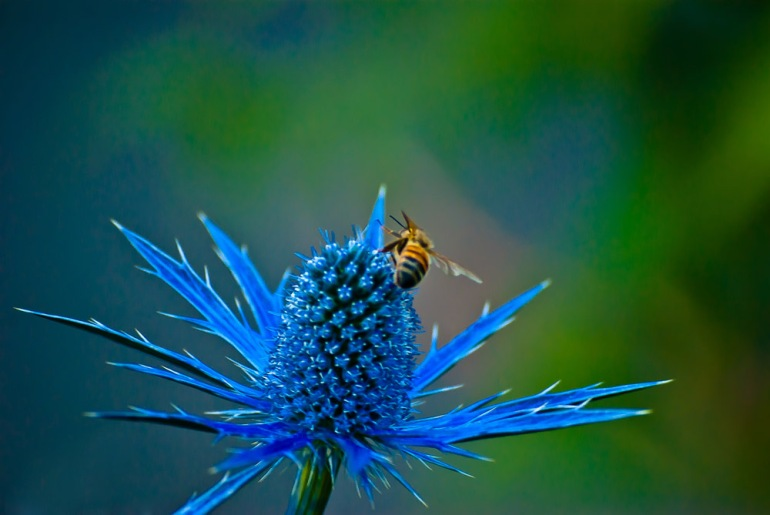 2 Quote A Flower Daily - Bee and Blue Thistle