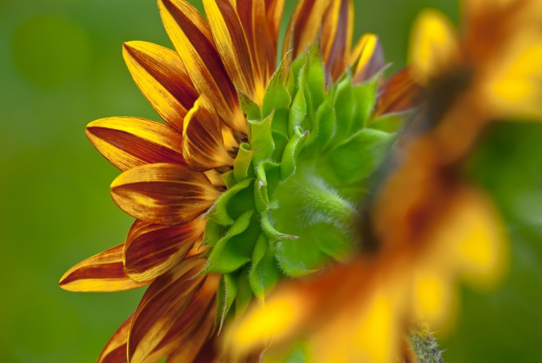 2 Quote A Flower Daily - Behind Sunflower