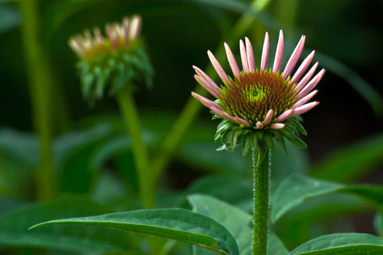 2 Quote A Flower Daily - Cone Flower Buds