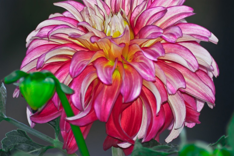 2 Quote A Flower Daily - Dahlia Flame