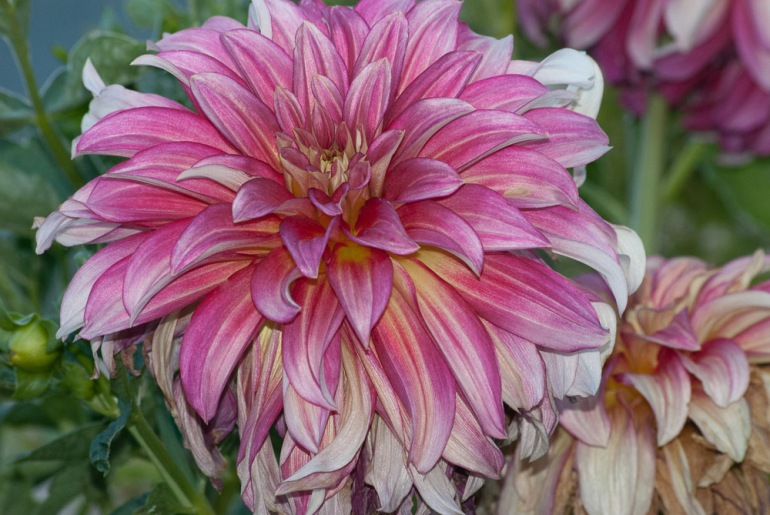2 Quote A Flower Daily - Dahlia
