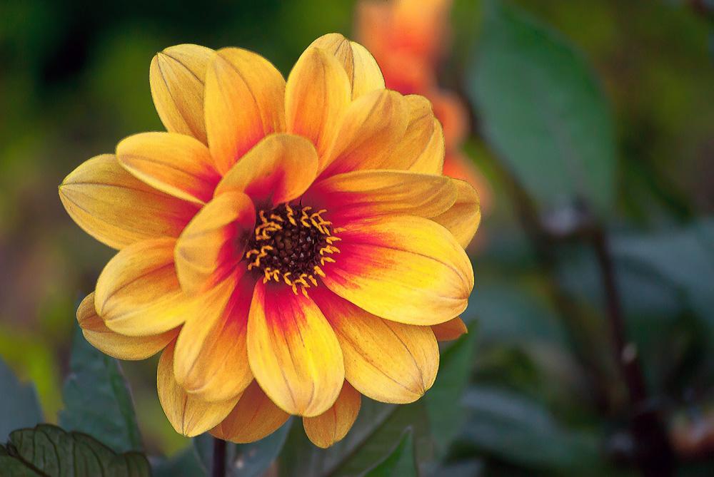 2 Quote A Flower Daily - Dreamy Eyes Dahlia 02