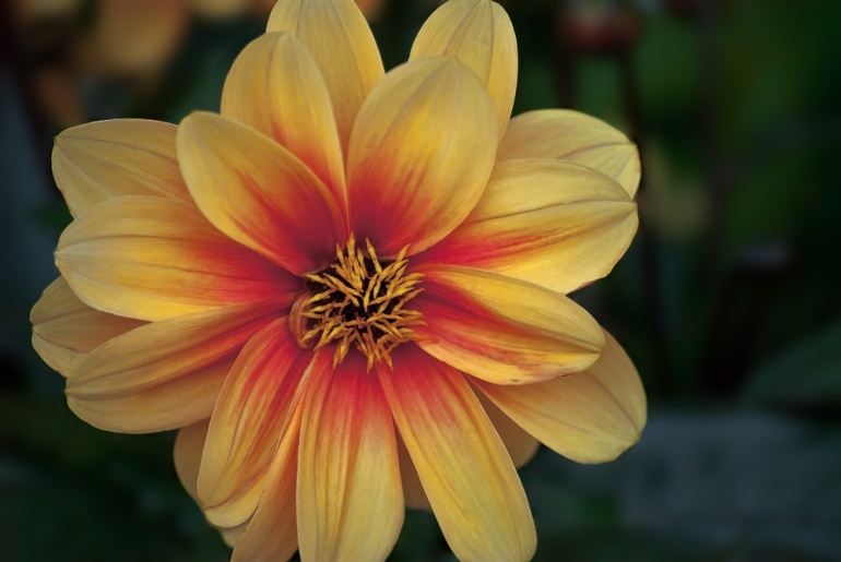 2 Quote A Flower Daily - Dreamy Eyes Dahlia
