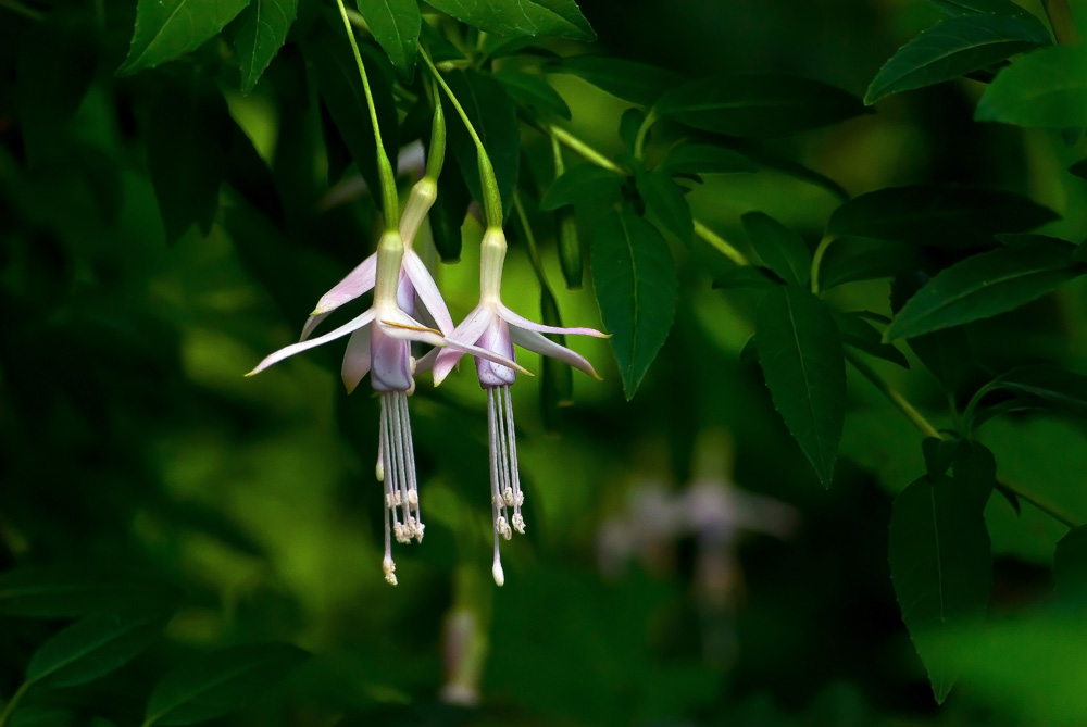 2 Quote A Flower Daily - White Fuchsia Hawkshead