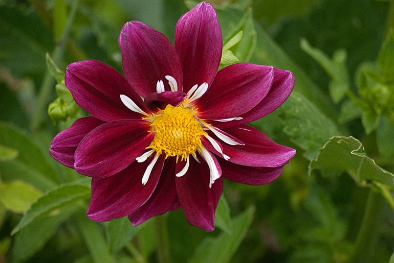 2 Quote A Flower Daily - Maroon Dahlia