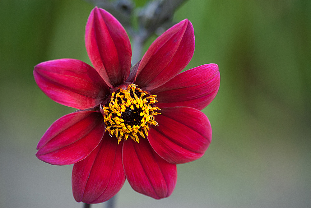 2 Quote A Flower Daily - Mystic Wonder Dahlia