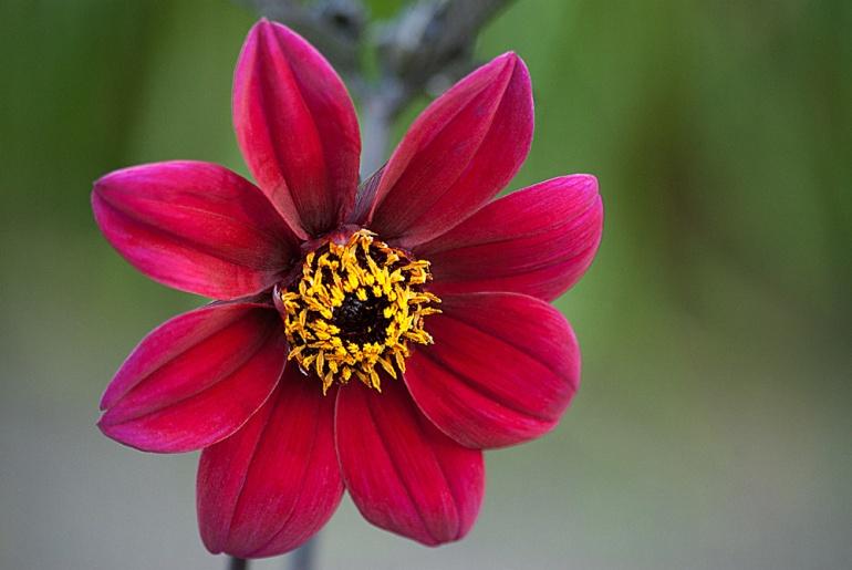 2 Quote A Flower Daily - Mystic Wonder Dahlia
