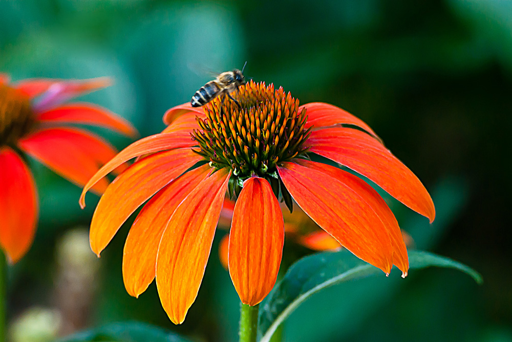 2 Quote A Flower Daily - Orange Cone Flower with Bee