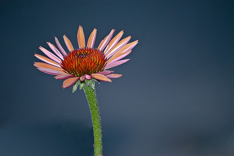 2 Quote A Flower Daily - Orange Cone Flower