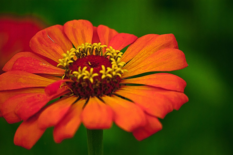 2 Quote A Flower Daily - Orange Zinnia Macro