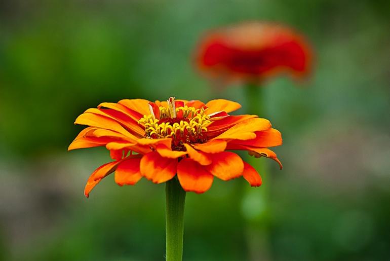 2 Quote A Flower Daily - Orange Zinnia