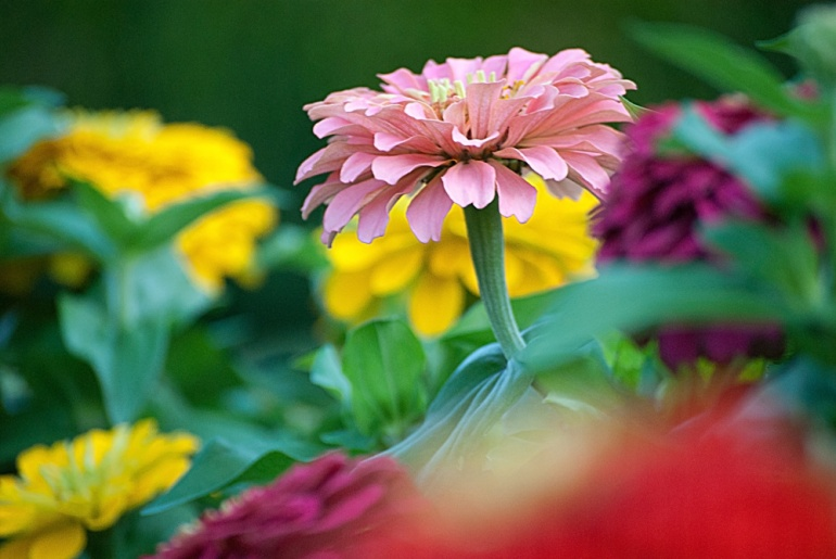 2 Quote A Flower Daily - Pink Zinnia 02