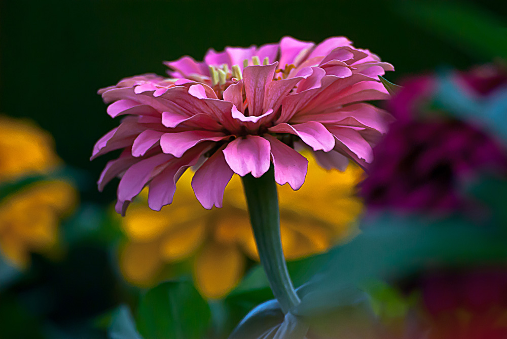 2 Quote A Flower Daily - Pink Zinnia 03