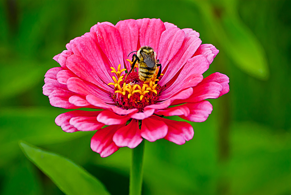 2 Quote A Flower Daily - Pink Zinnia Bee