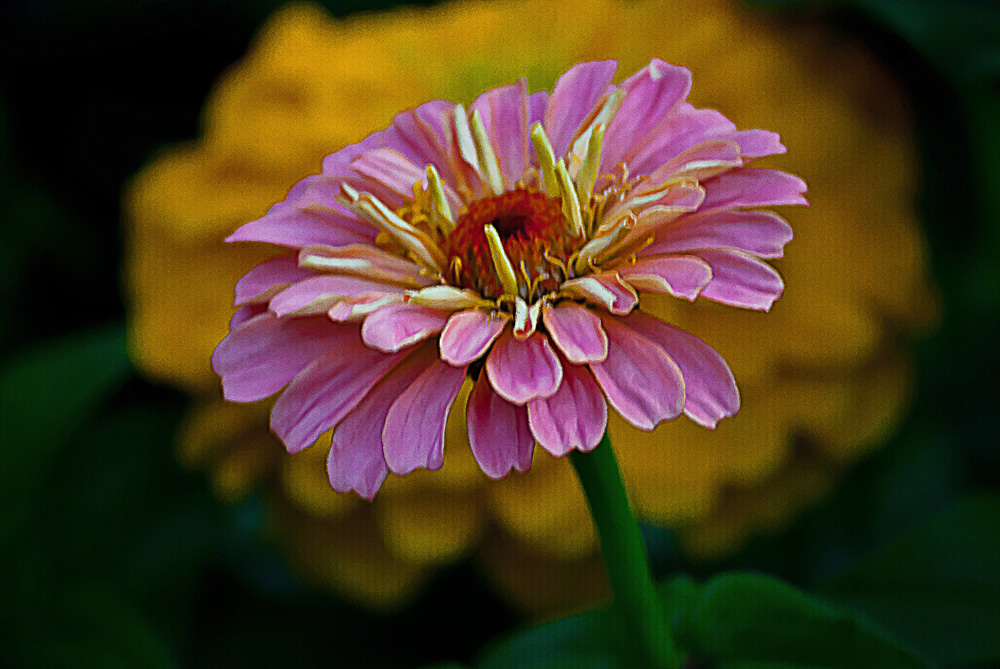 2 Quote A Flower Daily - Pink Zinnia on Yellow