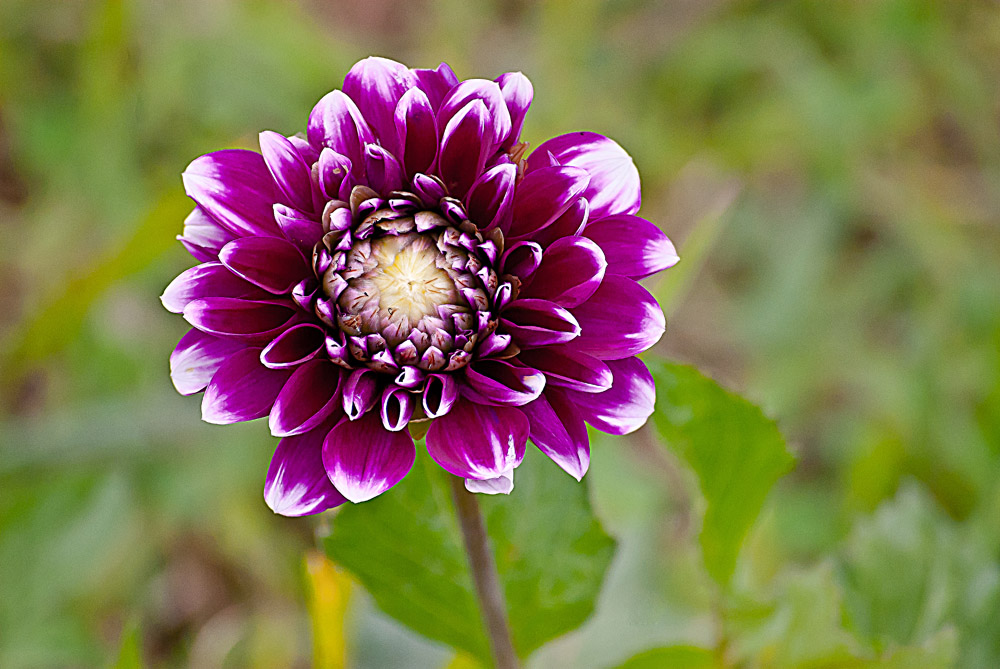 2 Quote A Flower Daily - Purple Dahlia, White Highlights