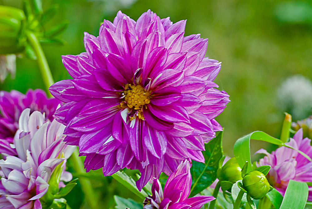 2 Quote A Flower Daily - Purple Dahlia