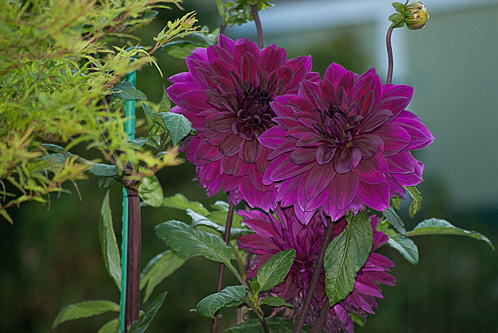 2 Quote A Flower Daily - Purple Dahlias