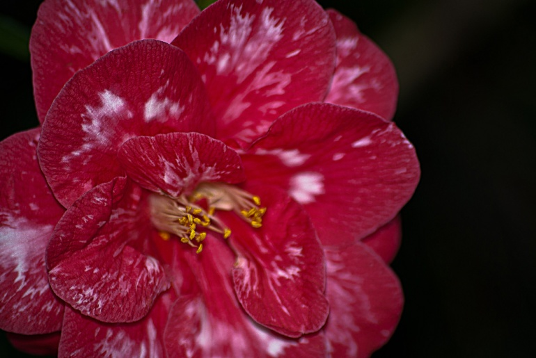 2 Quote A Flower Daily - Red and White Camellia