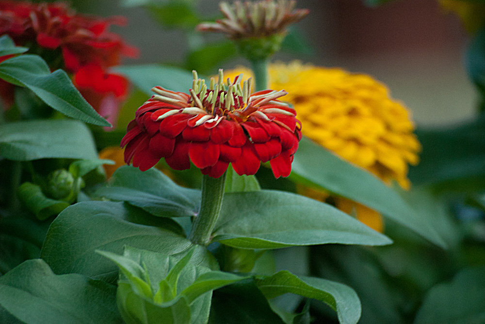 2 Quote A Flower Daily - Red Zinnia