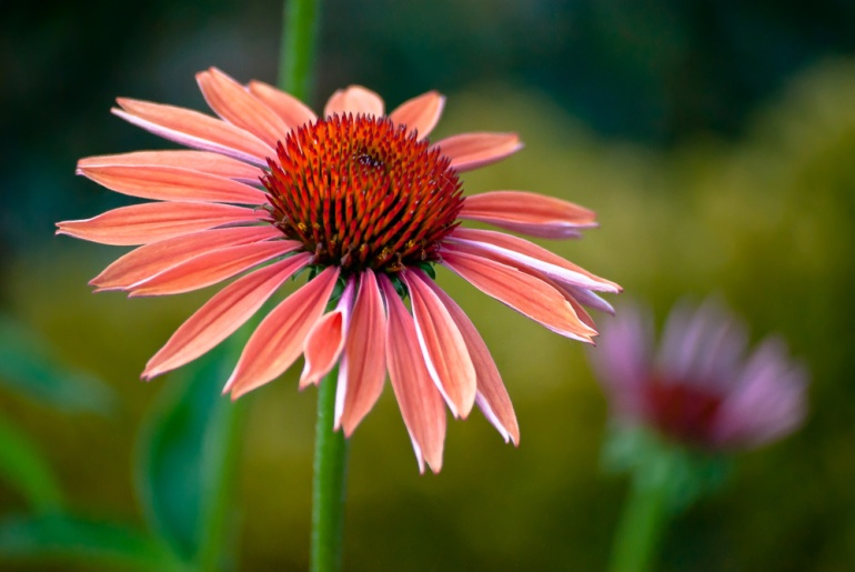 2 Quote A Flower Daily - Red Cone Flower