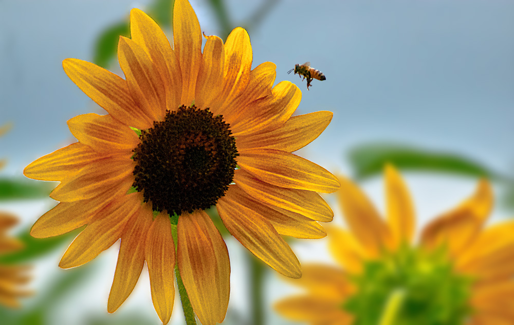 2 Quote A Flower Daily - Sunflower and Bee