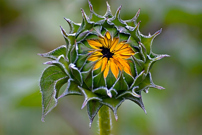 2 Quote A Flower Daily - Sunflower Buds