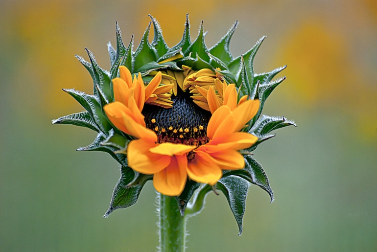 2 Quote A Flower Daily - Sunflower Opens