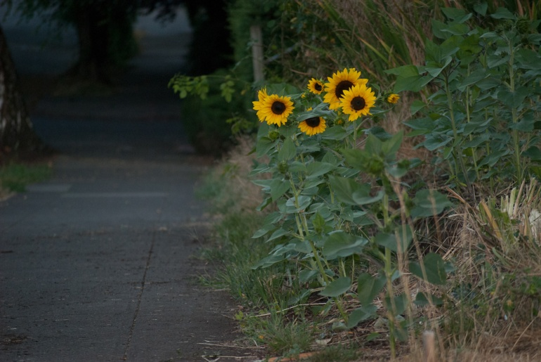 2 Quote A Flower Daily - Sunflower Sidewalk