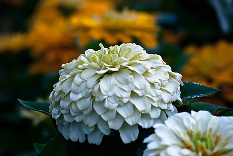 2 Quote A Flower Daily - White Zinnia