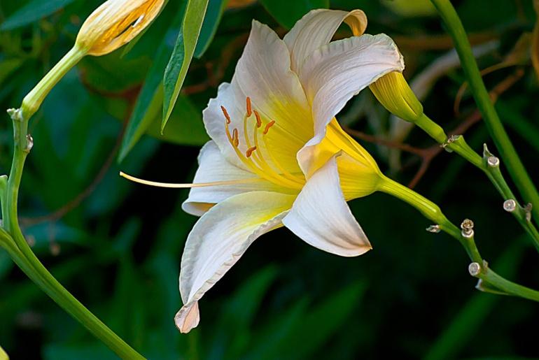 2 Quote A Flower Daily - Yellow Daylily, Hemerocallis