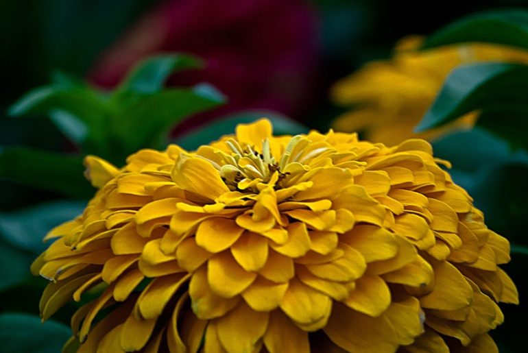 2 Quote A Flower Daily - Yellow Dome