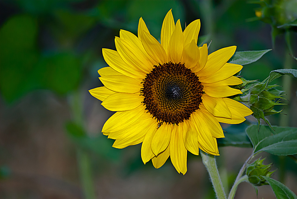 2 Quote A Flower Daily - Yellow Sunflower