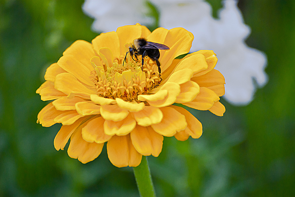 2 Quote A Flower Daily - Yellow Zinnia Bee