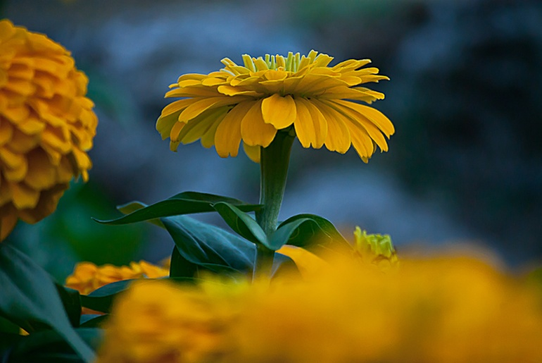2 Quote A Flower Daily - Yellow Zinnia