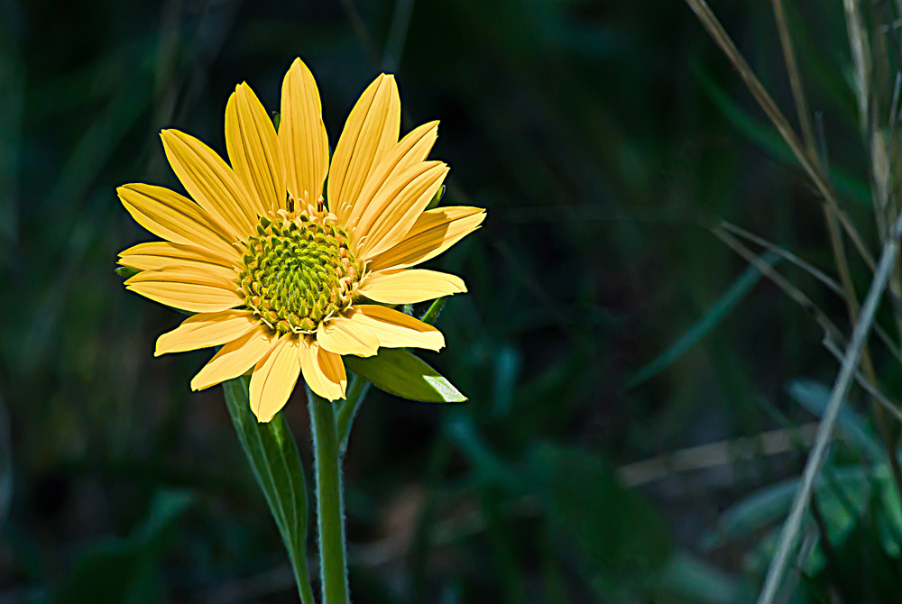 2 Quote A Flower Daily - Balsam Root 02