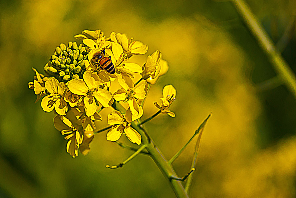 2 Quote A Flower Daily - Bee Mustard 02