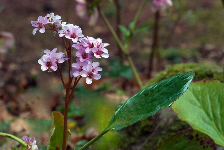 2 Quote A Flower Daily - Bergenia