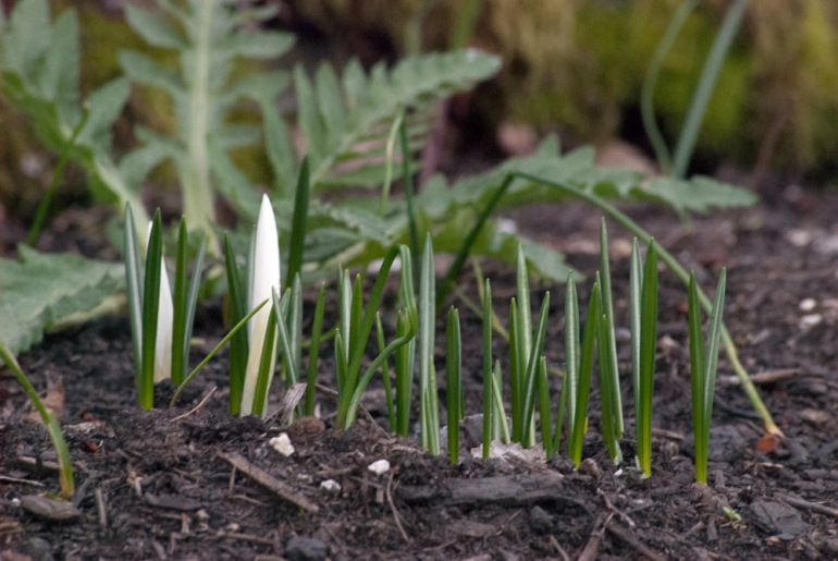 2 Quote A Flower Daily - Crocus Bud -2