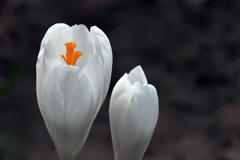 2 Quote A Flower Daily - Crocus Glow 02
