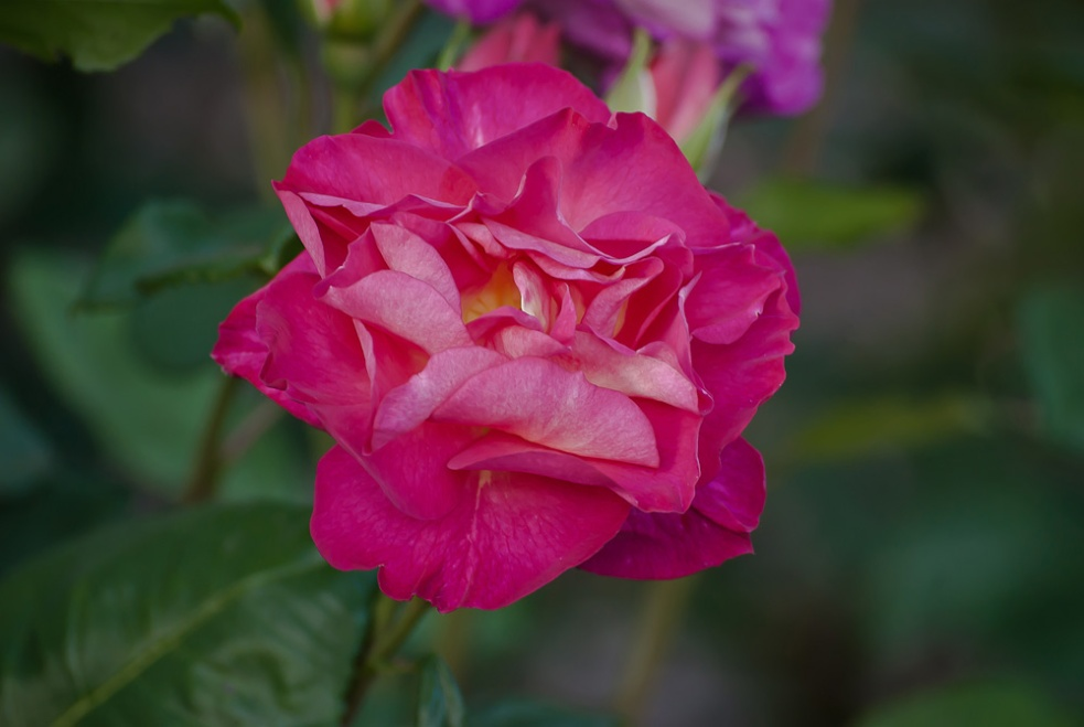 2 Quote A Flower Daily - Cutta the Blue Rose