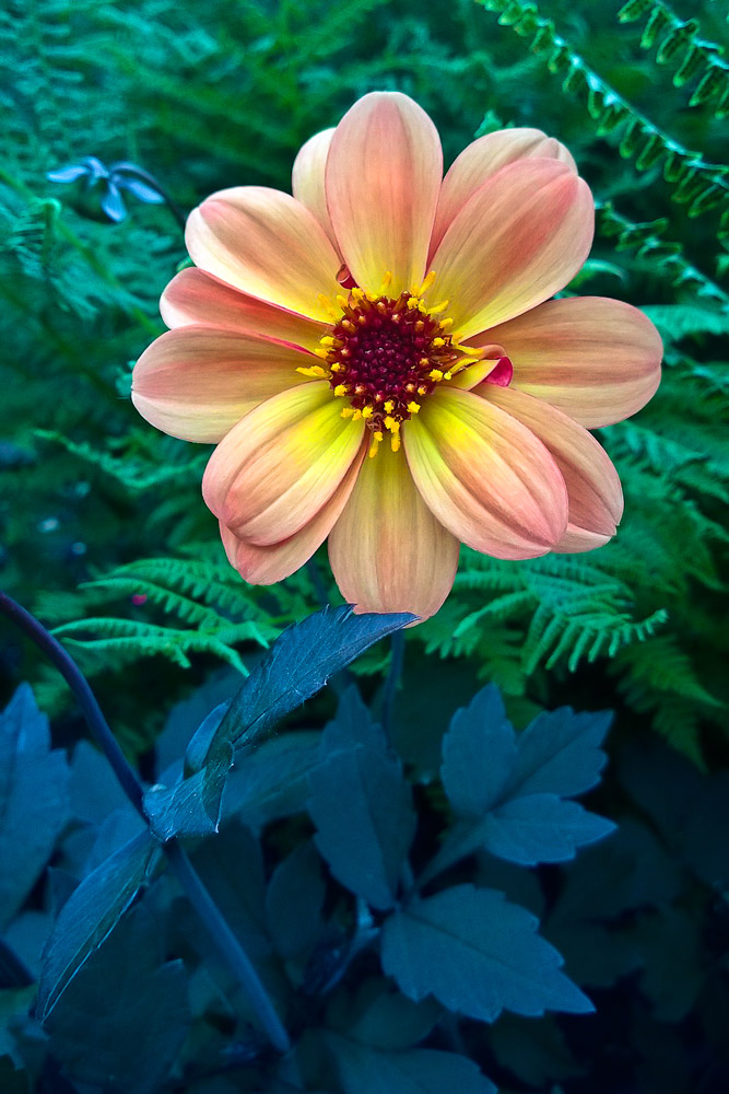 2 Quote A Flower Daily - Dahlia Dream 01
