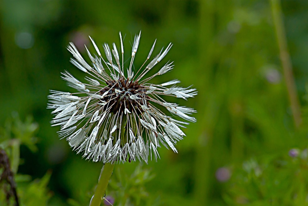 2 Quote A Flower Daily - Dandelion Seed Head